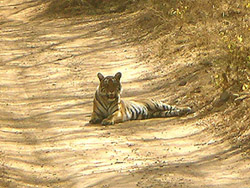 Tiger in Jungle Safari by Jeep Tours